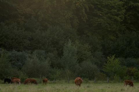 Landschaft mit Rindern
